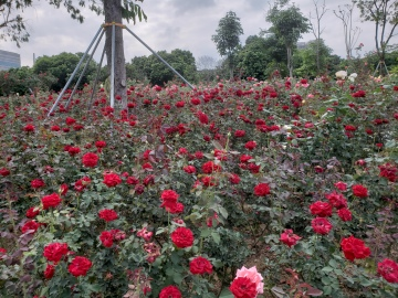 One of Shenzhen's largest rose gardens